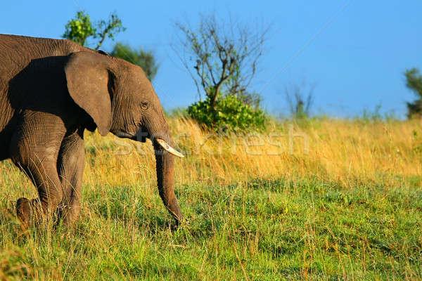 Afrika fil Afrika Kenya bahar orman Stok fotoğraf © Anna_Om