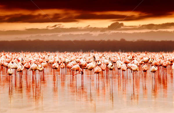 African flamingos on sunset Stock photo © Anna_Om