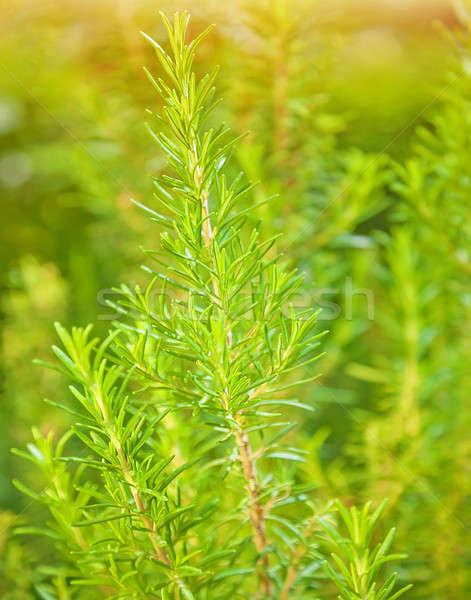 Rozmaring friss növény növekedés illatos fűszer Stock fotó © Anna_Om