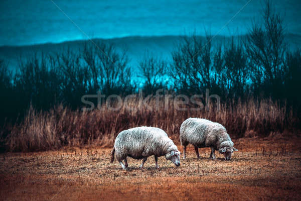 Two sheeps grazing on the field Stock photo © Anna_Om