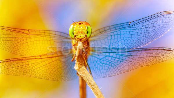 美しい トンボ クローズアップ 透明な 翼 ストックフォト © Anna_Om