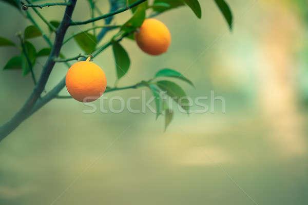 Narancsfa ág természetes homályos érett ízletes Stock fotó © Anna_Om