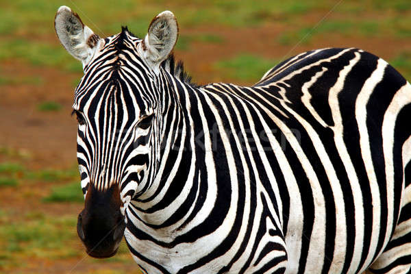 Portrait of African Wild Zebra Stock photo © Anna_Om