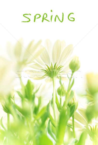 Tavasz friss virágok százszorszép virágzó mező Stock fotó © Anna_Om
