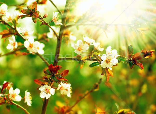 Almond tree blossom Stock photo © Anna_Om