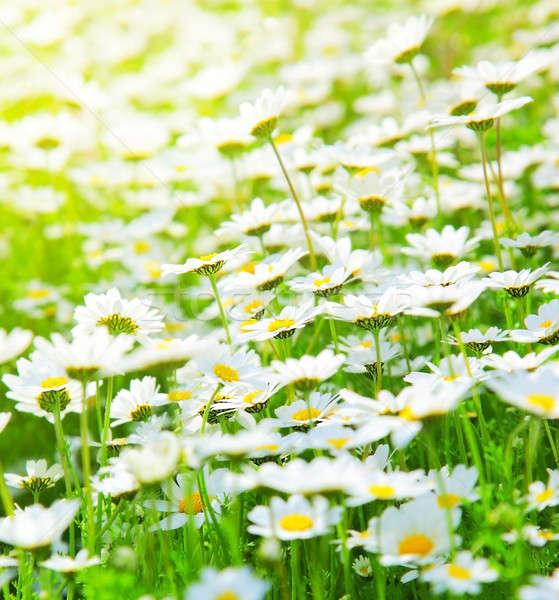 Bahar alan papatyalar çayır beyaz taze Stok fotoğraf © Anna_Om