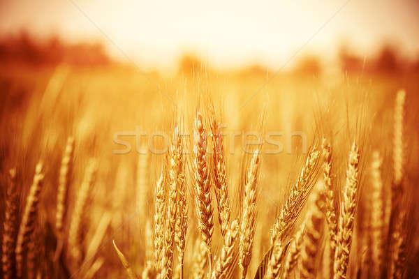 Stock fotó: Gyönyörű · búzamező · citromsárga · őszi · természet · vidék
