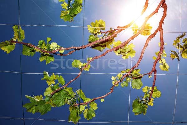 Hermosa frescos de uva vid cielo azul brillante Foto stock © Anna_Om