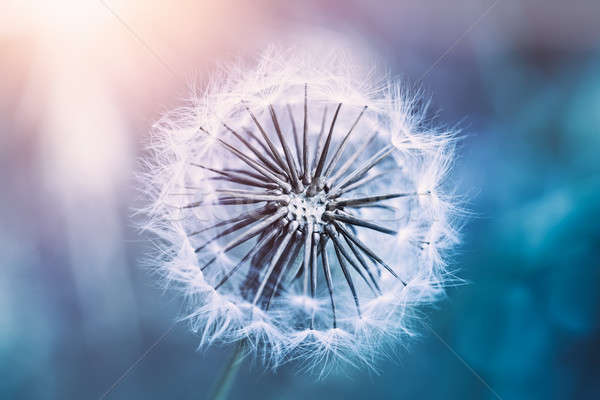 Gentle dandelion flower Stock photo © Anna_Om