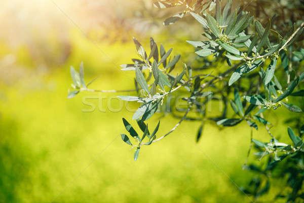 Friss zöld olajfa ágak bokeh fű Stock fotó © Anna_Om