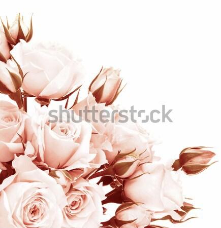 Foto stock: Fresco · rosas · quadro · rosa · belo · isolado