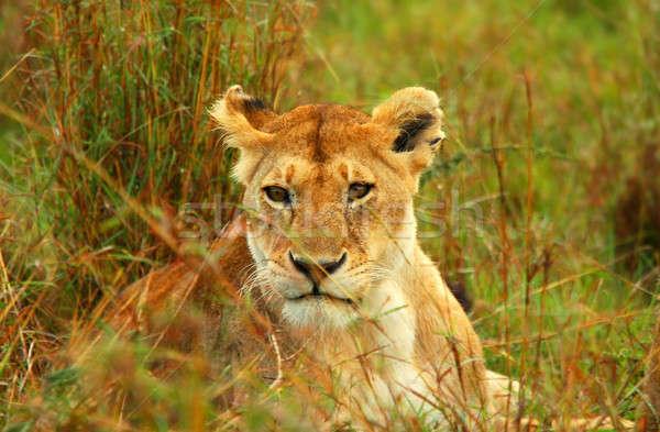 Wild afrika Kenia voorjaar kat schoonheid Stockfoto © Anna_Om