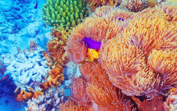 Clown fish near colorful corals Stock photo © Anna_Om