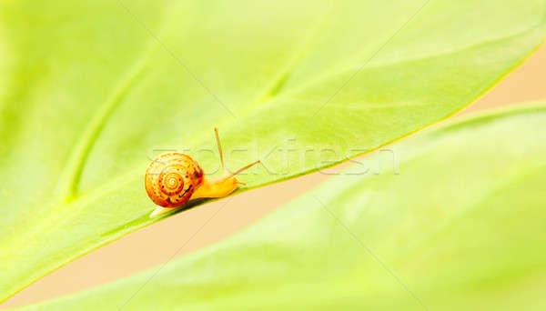 Kicsi csiga levél szépség természet fű Stock fotó © Anna_Om