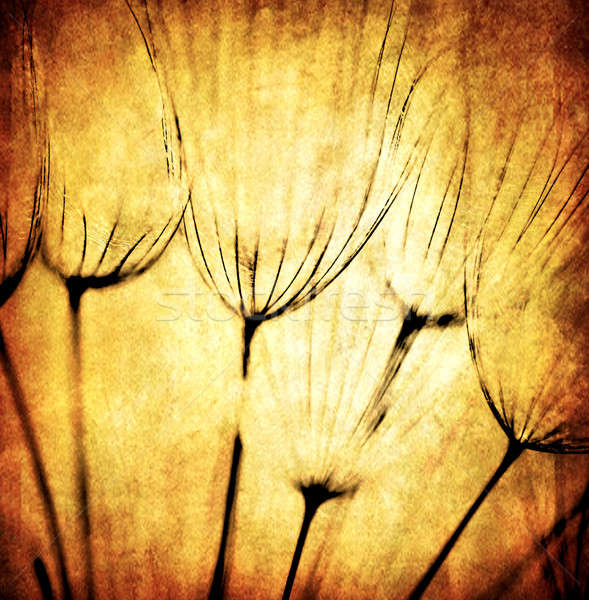 Grunge abstract dandelion flower background Stock photo © Anna_Om