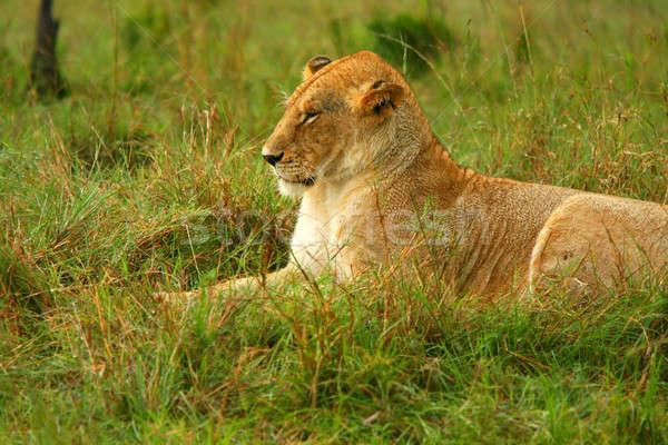 Foto stock: Africano · África · Quênia · primavera · gato