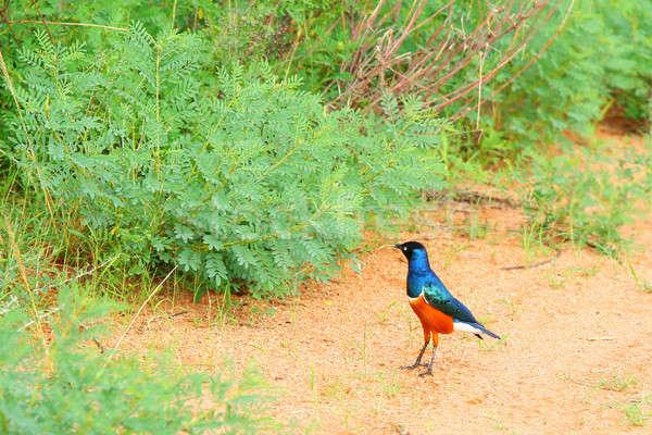 Vogel Afrika Kenia Frühling Reise Stock foto © Anna_Om