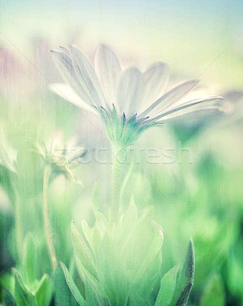 Soft focus of daisy field Stock photo © Anna_Om