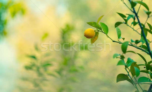 Lemon trees garden Stock photo © Anna_Om