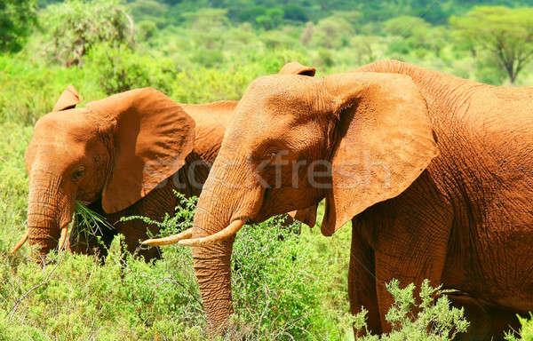 Afrika fil Afrika Kenya aile orman Stok fotoğraf © Anna_Om
