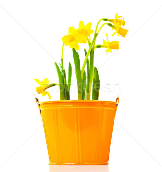 Pot of narcissus flower Stock photo © Anna_Om