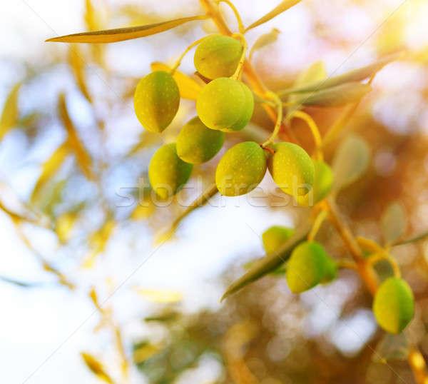 Olijfboom tak zonnige hemel heldere najaar Stockfoto © Anna_Om