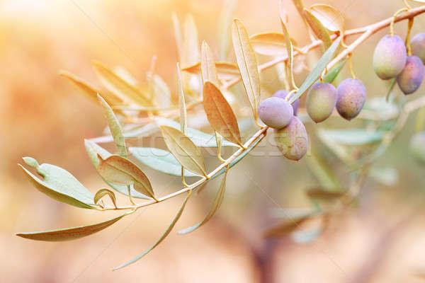 Olijfboom tak zonsondergang licht zwarte olijfolie Stockfoto © Anna_Om