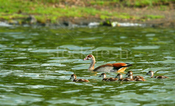 Goose with new borne family Stock photo © Anna_Om
