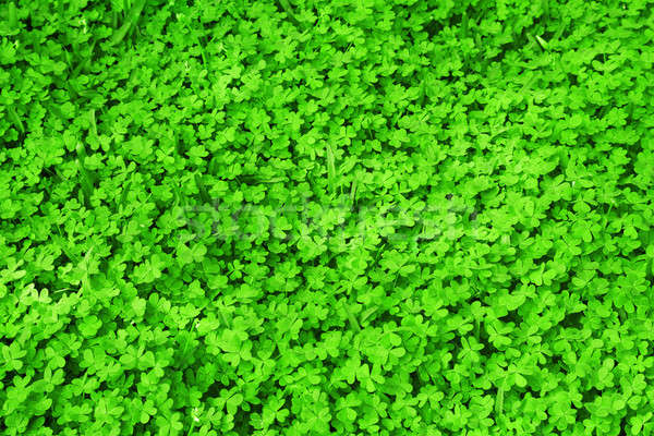 Green fresh clover field Stock photo © Anna_Om