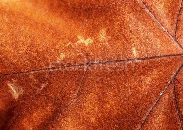 Barna száraz levél véna őszi lomb Stock fotó © Anna_Om