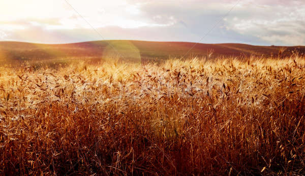Gyönyörű búzamező tájkép arany száraz fényes Stock fotó © Anna_Om
