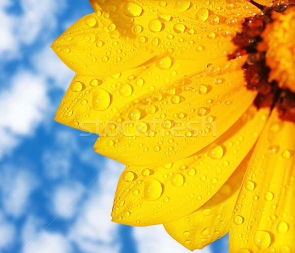 Wet yellow flower background Stock photo © Anna_Om