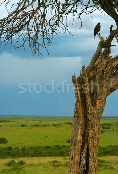 Dry tree & eagle Stock photo © Anna_Om