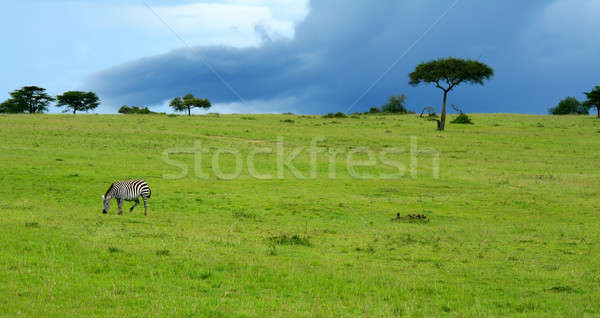 Wild zebra Stock photo © Anna_Om