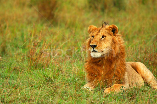 Portrait of young wild african lion Stock photo © Anna_Om