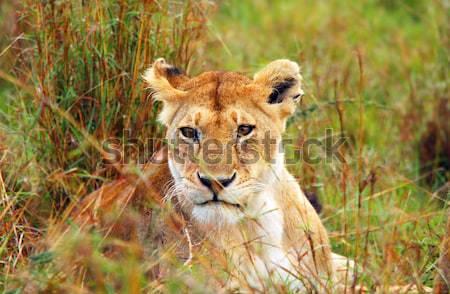 商业照片: 非洲 · 肯尼亚 ·草·猫· 美女 / lioness in the wild.