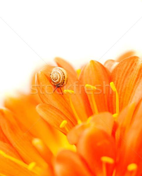 Küçük salyangoz çiğdem çiçek resim Stok fotoğraf © Anna_Om