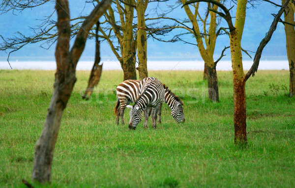 Wild zebras Stock photo © Anna_Om