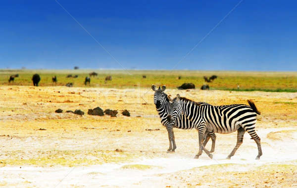 Africano zebras safári família paisagem Foto stock © Anna_Om
