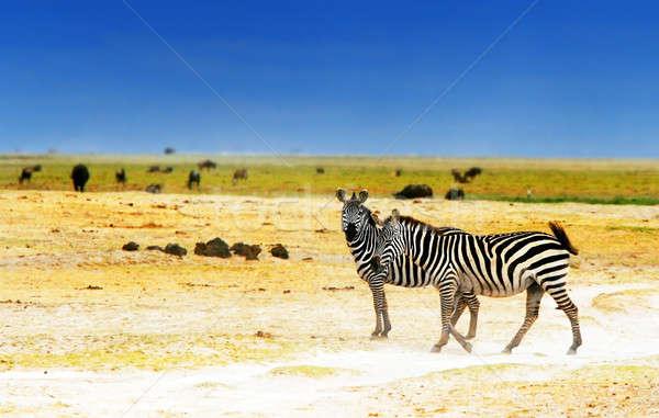 Afrikaanse wild zebra's safari familie landschap Stockfoto © Anna_Om