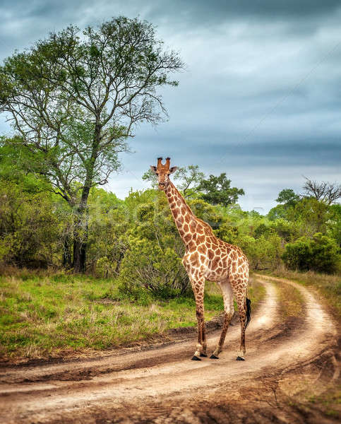 South African wild giraffe  Stock photo © Anna_Om