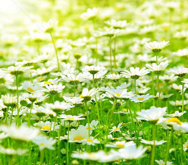 Tavasz mező százszorszépek legelő fehér friss Stock fotó © Anna_Om