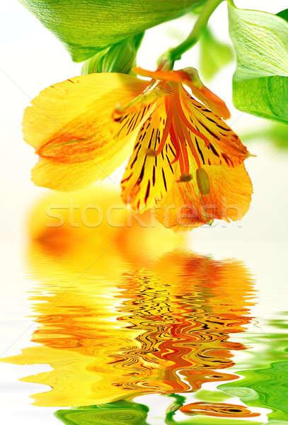 Fresh yellow lily Stock photo © Anna_Om