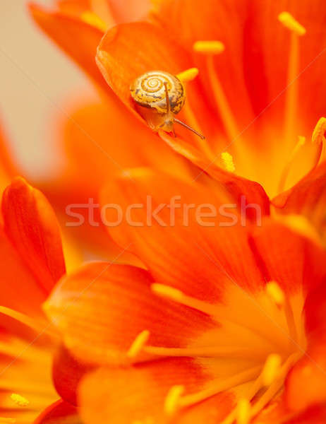 Little snail on red crocus flower Stock photo © Anna_Om