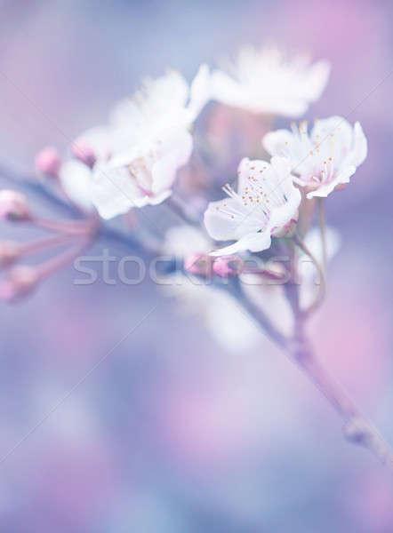 Japonês sakura jardim abstrato floral Foto stock © Anna_Om