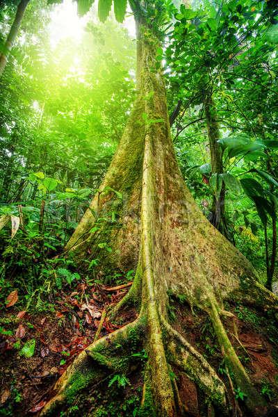 Gigante albero foresta pluviale incredibile luminoso luce del sole Foto d'archivio © Anna_Om