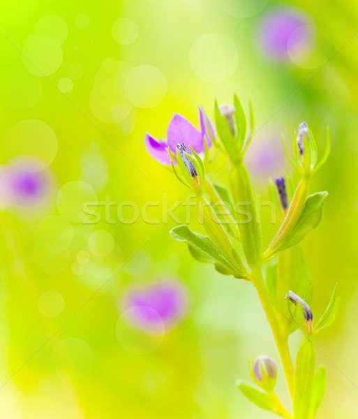 Púrpura flores silvestres hermosa verde campo suave Foto stock © Anna_Om