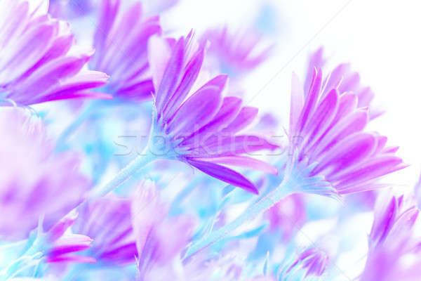 свежие Daisy цветы Purple области искусства Сток-фото © Anna_Om