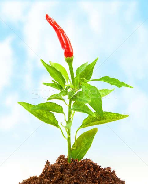 Chilipaprika növekedés piros forró föld kert Stock fotó © Anna_Om