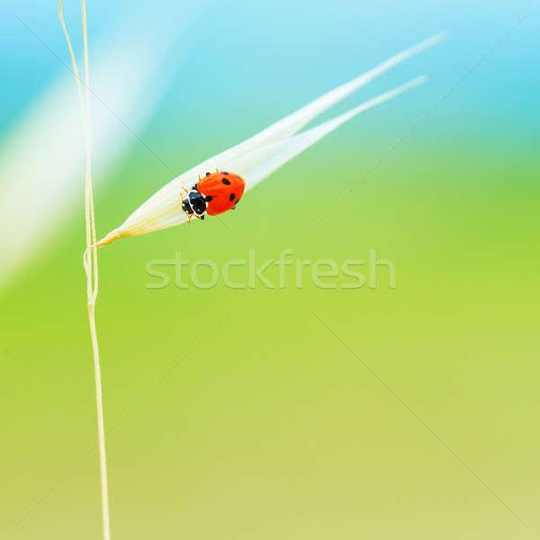 Minúsculo mariquita trigo tallo cute rojo Foto stock © Anna_Om
